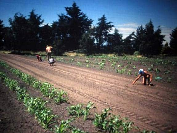 Robin at pumpkin harvest time Middle, Robin planting by hand on the Halkett family farm in the 1970's