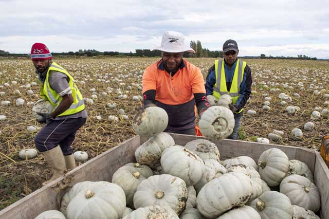 Harvest time at Oakley's